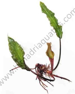 Lagenandra meeboldii – Tenkashi (single plant)