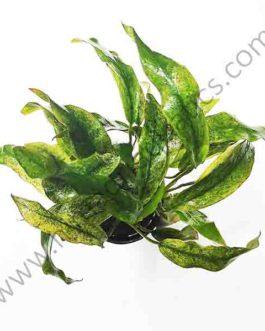 """Anubias barteri var. glabra """"variegated leaf""""( large pot)"""