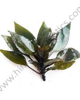 Hygrophila Corymbosa 'Compacta'/ Hygrophila 'Compact' (1 stem)