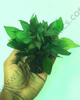 Hygrophila Corymbosa 'Compacta'/ Hygrophila 'Compact' (large pot)
