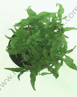 Staurogyne sp. Porto velho (large pot)