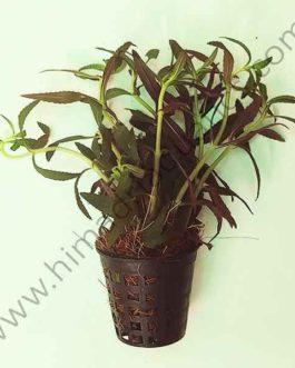 Limnophila Hippuridoides/ Limnophila  aromatica (large pot)