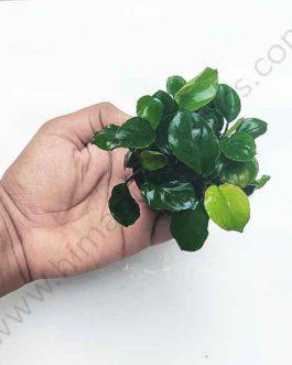 Anubias barteri Coin Leaf Pot