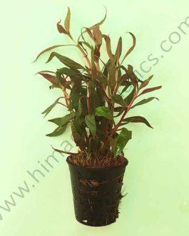 Alternanthera reineckii/lilacina/ Purple lila  (Large pot)