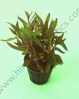 Alternanthera reineckii 'mini' (Large pot)
