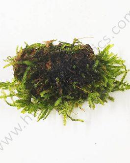 Vesicularia sp 'Mini Christmas moss' bunch on rock