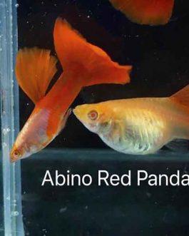 Albino red panda wide tail guppy