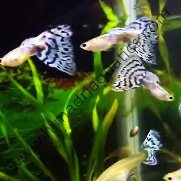 Pandora S Blue Mossaic Guppy Pair Buy Aquarium Plants And Aquarium Fishes Online