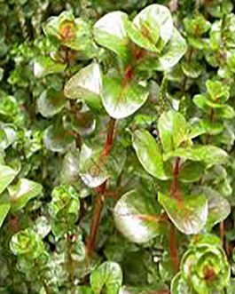 Rotala macrandra/ Giant rotala (3 stem cuttings)