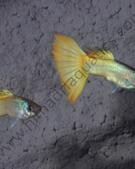 Wide tail Micariff yellow High Dorsal guppy pair