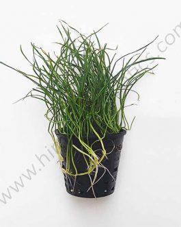 Lilaeopsis mauritiana- carpet plant (Large Pot)