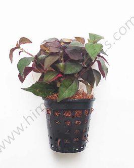 Hemigraphis sp. pink (Large Pot)