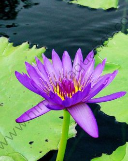 Nymphiya capensis/ Blue flower water lily/ Cape blue waterlily