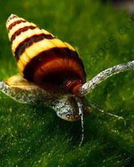 Assassin snail/ Bumblebee snail