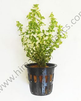 Hemianthus micranthemoides/ pearl grass/ pearl weed (Pot)