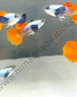 Plantinum Red Tail Dumbo Big Ear Guppy Pair