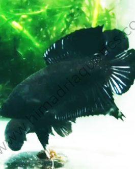 Melano black double tail plakat betta fish breeding pair
