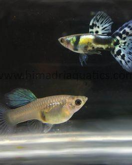 Galaxy blue tiger guppy Pair