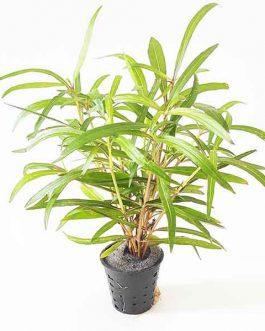 "Hygrophila ""Tiger""/ Hygrophila Sp. ""Araguaia"" (Pot)"