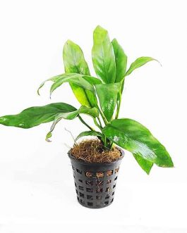 Anubias barteri var. glabra (single plant pot)