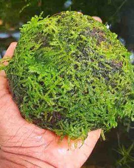 Vesicularia sp 'Mini Christmas moss' on coconut shell