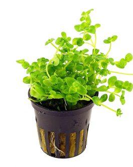 Bacopa australius (pot)