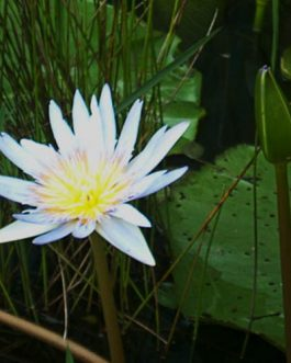 Nymphaea nouchali/ White flower water lily (single Plant)