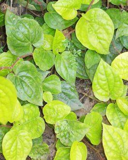 Piper Betle (single plant)
