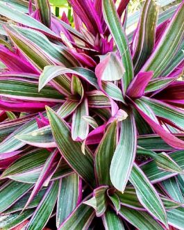 Rhoeo discolor/ Tricolor/ Variegated(single plant)