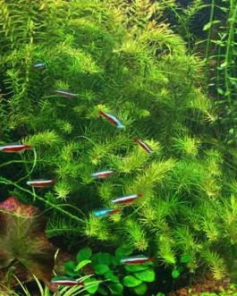 Rotala Nanjenshan/ Green wallichii (3 stems)