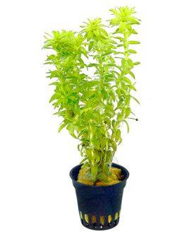 Tonina fluviatilis (pot)