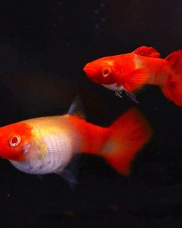 Albino Koi guppy pair