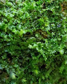 Mini Jade lotus Moss/ Jungermannia truncata nees on rock