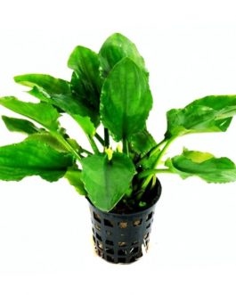 Lagenandra nairii 'Compact'/ Dwarf lagenandra (large pot)