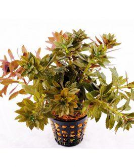 Limnophila Aromatica Mini (large pot)