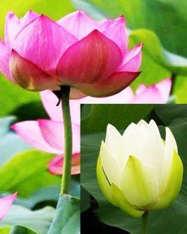 Pink and White lotus/ Nelumbo nucifera(2 lotus combo pack)