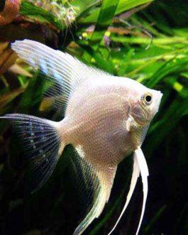 platinum white angel fish (4 pieces)