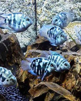 Polar blue parrot fish (4 pieces)
