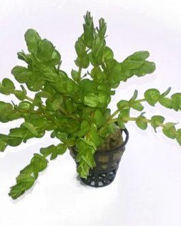 """Rotala Rotundifolia """"Twilight"""" (large pot)"""