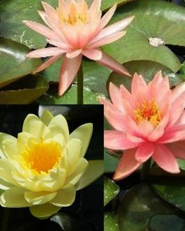 Nymphaea Yellow and peach flower lilies-hardy lilies (2 combo plants)