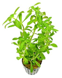 Limnophila aromatica Green (large pot)