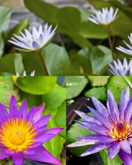 Nymphaea Panama Pacific, Dauben, Islamorada lilies (combo 3 plants)