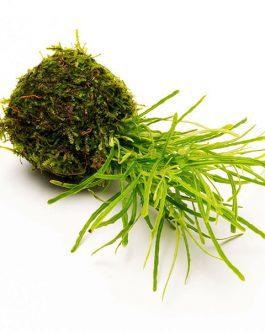Hemigraphis repanda Green (large pot)