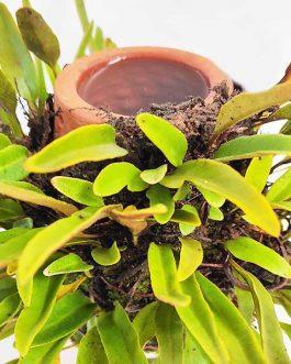 Himadri terraplanter (Medium size)
