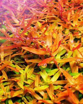 Rotala rotundifolia 'orange juice' (large pot)