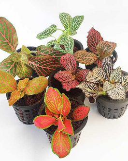 Fittonia /Nerve Plant (any two pots)