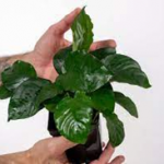 Non CO2 and easily maintaining plants for Aquarium.