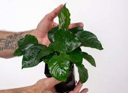 Read more about the article Non CO2 and easily maintaining plants for Aquarium.