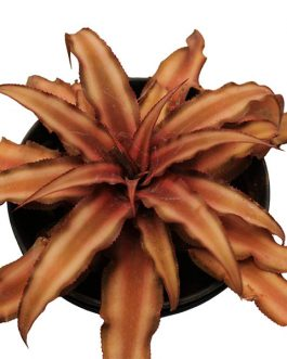 Cryptanthus bivittatus brown Starlite / Bromeliad brown/ Earth star brown