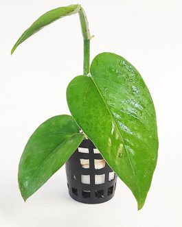 Jade green pothos/ Epipremnum Aureum Jade (pot)